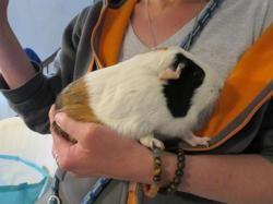 Guimauve, Animal cochon d'inde à adopter
