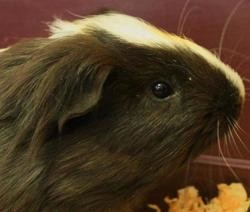 Polochon, Animal cochon d'inde à adopter