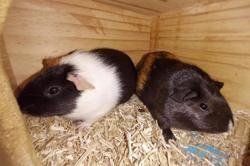 Citron & chipie, Animal cochon d'inde à adopter