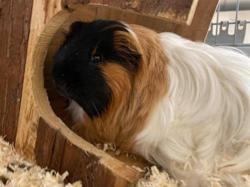 Sam, Animal cochon d'inde à adopter