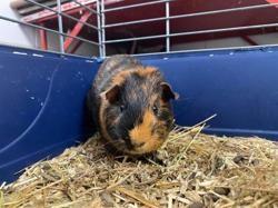Snoky, Animal cochon d'inde à adopter