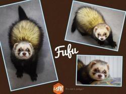 Fufu, Animal furet à adopter