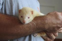 Muffin cac734, Animal furet à adopter