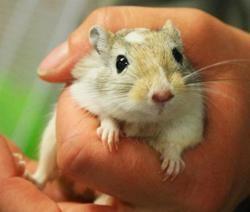 Totor, Animal gerbille à adopter