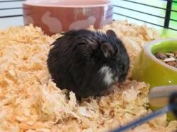 Coquillette, Animal hamster à adopter