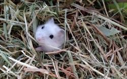 Wambrechies, Animal hamster à adopter