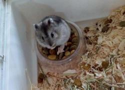 Fleurbaix, Animal hamster à adopter