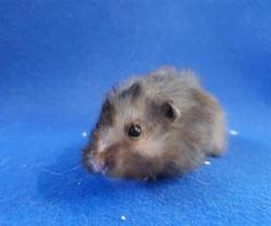 Coco cac678, Animal hamster à adopter