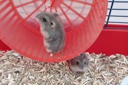 Haruna, Animal hamster à adopter