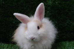 Lilou, Animal lapin à adopter
