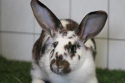Loca, Animal lapin à adopter