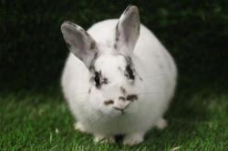 Hanaë, Animal lapin à adopter
