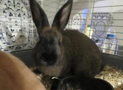 Chouchou, Animal lapin à adopter