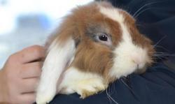 Panpan, Animal lapin à adopter