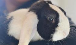Pilou, Animal lapin à adopter