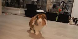 Doudou , Animal lapin à adopter