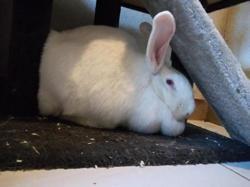 Bonnie, Animal lapin à adopter