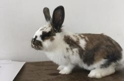 Sobbeck, Animal lapin à adopter