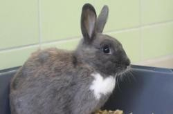 Biscotte, Animal lapin à adopter
