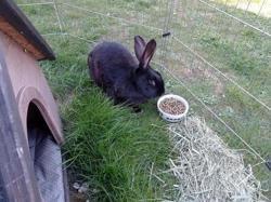 Chamallow, Animal lapin à adopter