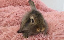 Citronnade, Animal lapin à adopter