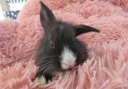 Carambole, Animal lapin à adopter