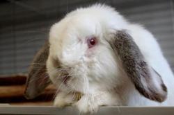Roi pampan, Animal lapin à adopter