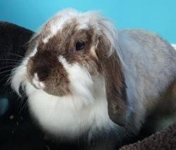 Carolina cac786, Animal lapin à adopter
