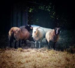Atlas, Animal mouton à adopter