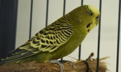 Lindo, Animal oiseau à adopter