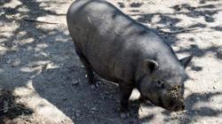 Margot, Animal porcin à adopter