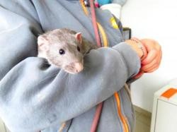 Dembo 220, Animal rat à adopter
