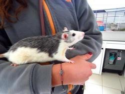 Sky 221, Animal rat à adopter