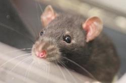 Huffle, Animal rat à adopter