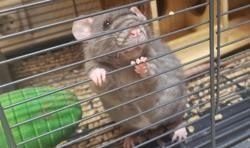 Rata, Animal rat à adopter