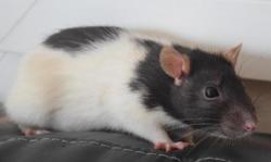 Erza, Animal rat à adopter