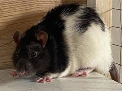 Poupi, Animal rat à adopter