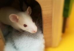 Jaq qnac, Animal rat à adopter