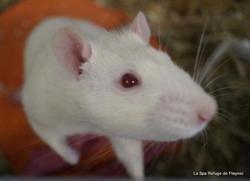 Splinter, Animal rat à adopter