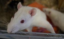 Artus, Animal rat à adopter