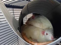 Chico 346, Animal rat à adopter