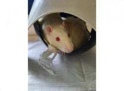 Yul 347, Animal rat à adopter