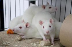 Lush, Animal rat à adopter