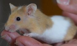 Olivia, Animal souris à adopter