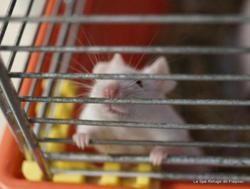 Nino, Animal souris à adopter