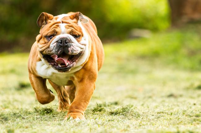 Pinscher, Schnauzer, Rottweiler, Bulldog, Mastiff