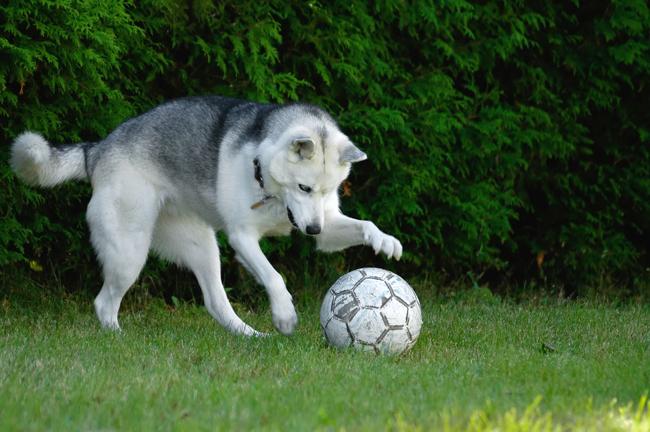 Chiens mordus de football