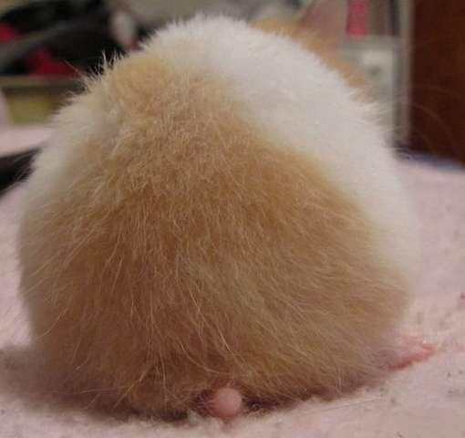 Fesses de hamsters