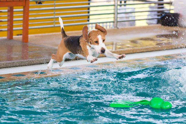 Chiens qui nagent à la piscine