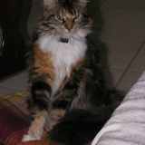 Chat Maine Coon Dune
